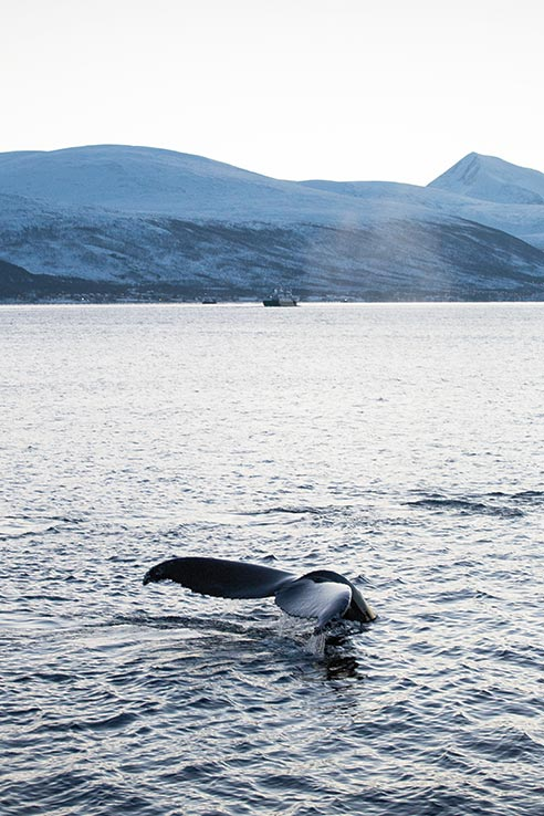 Fly to Tromsø, go watching for whales.